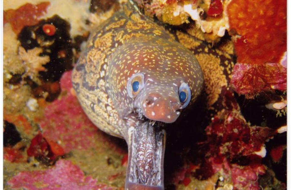 Mean moray (2007)... A mosaic moray eel flashes its needle-sharp teeth at Callum Bruce, who was...