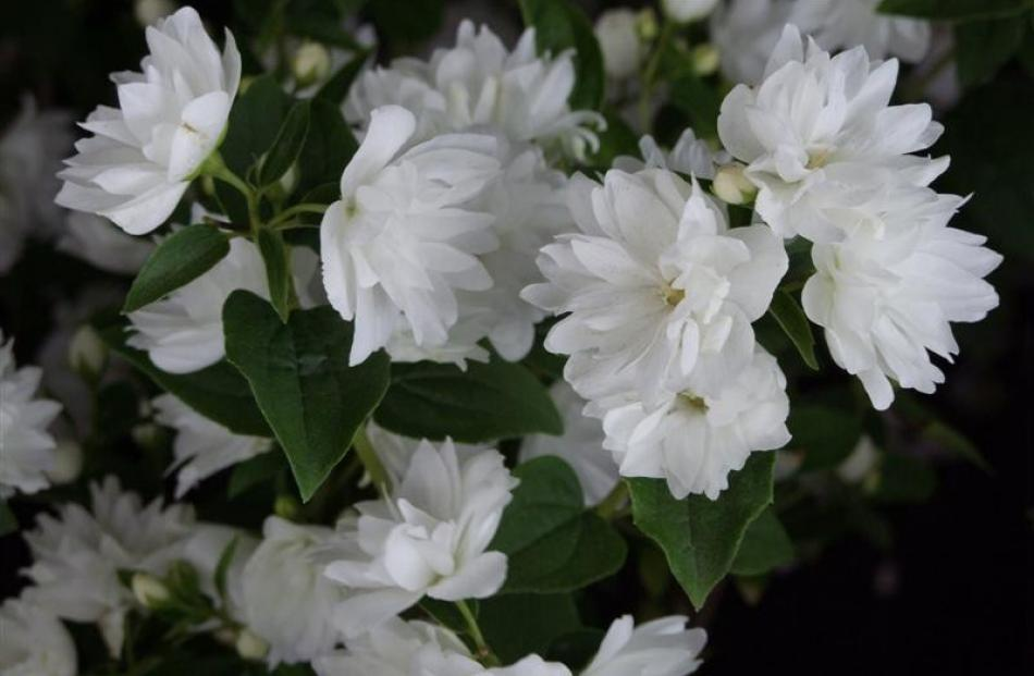 1. Philadelphus Frosty Morn; $17.99 from Wal's Plant Land, Mosgiel.