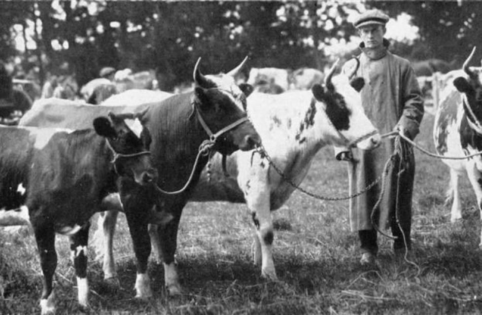 A group of Ayrshires which secured four firsts and two championships for Mr J. Campbell, of...