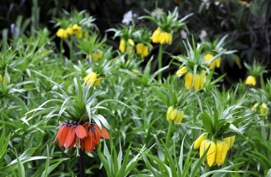 <i>Fritillaria imperialis</i>. Photo by Gregor Richardson.