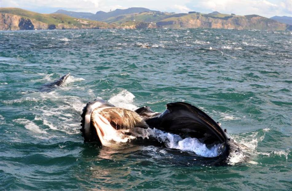 A calf humpback whale fishes about 2km from Taiaroa Head yesterday, accompanied by a run of...