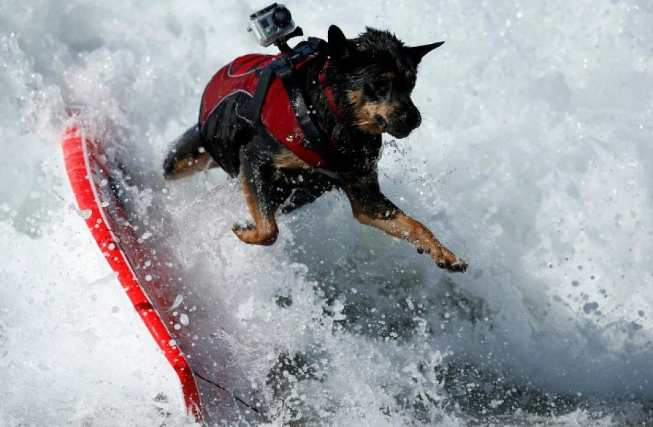 A dog wipes out during the Surf City Surf Dog contest in Huntington Beach. REUTERS/Lucy Nicholson