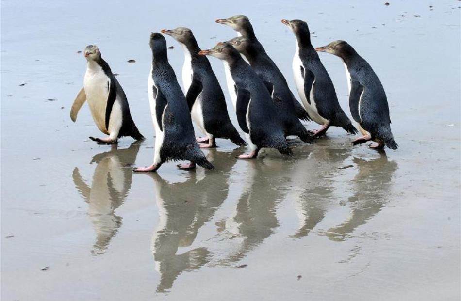 A group of rescued yellow-eyed penguins turn tail back up at an Otago Peninsula beach after being...