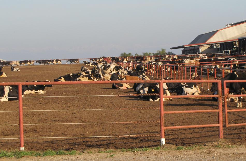 A mega-dairying set up in the United States shows cows housed ...
