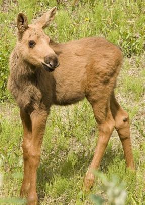 A  moose calf.