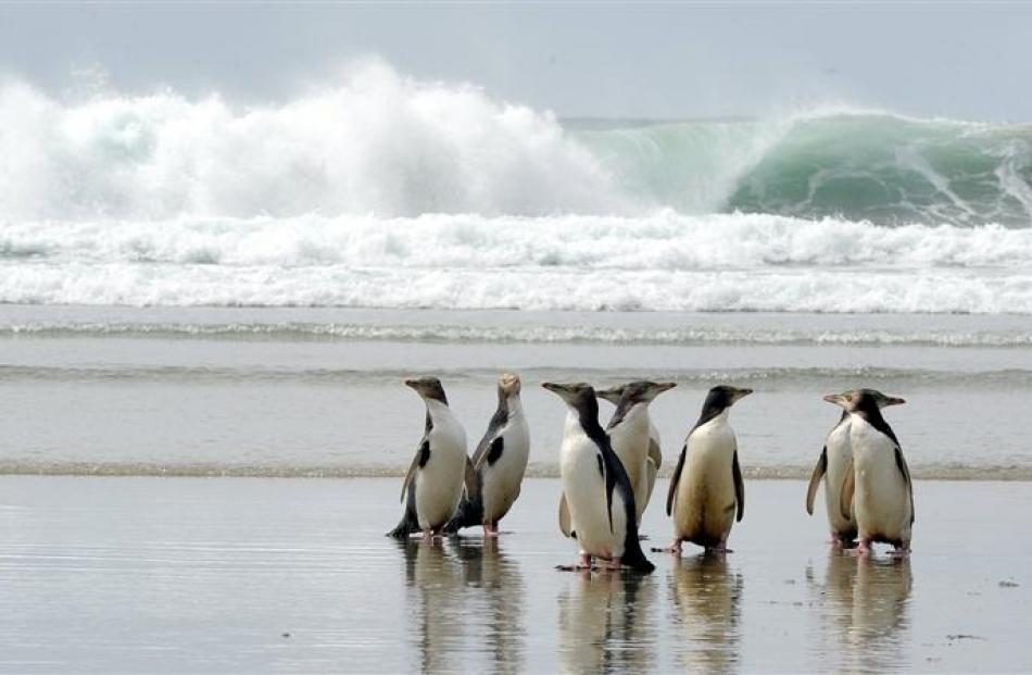 A parcel of  yellow-eyed penguins gathers on an Otago Peninsula beach. Photo by Craig Baxter.