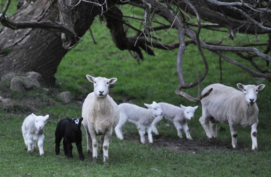 A research project to better quantify the effect of forage and environment type on lambs is under...