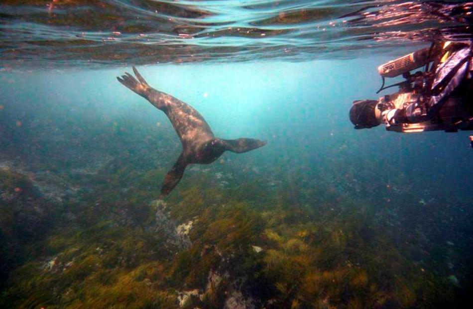 A seal is filmed  off the Snares, near Stewart Island, during filming of OceaNZ, by Dunedin...