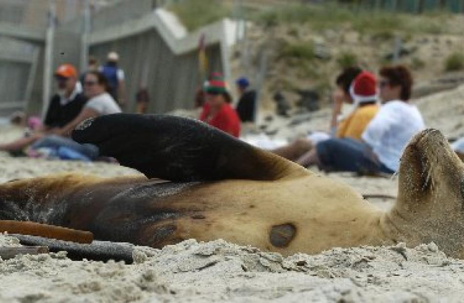 A slumbering sea lion joins Christmas Day holidaymakers for an after-lunch siesta on St Clair...