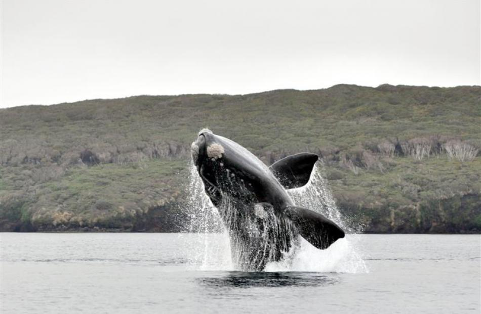 A southern right whale breaches  in Port Ross at the northern end of the Auckland Islands. Photo...