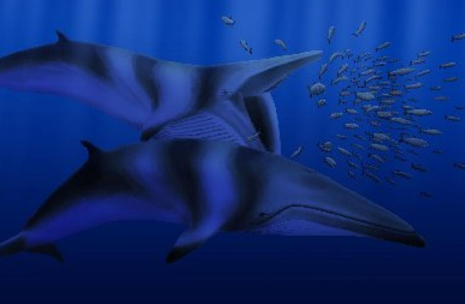 A speculative rendering of Balaenoptera bertae - a new species of  extinct whale. Image by Robert...