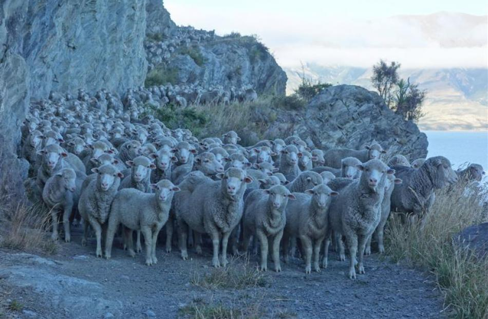A turnaround of the red meat sector has been called for; pictured, sheep pause on a bluff of the...