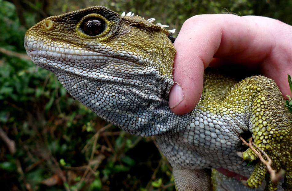 An adult tuatara ready for release. Photo by Scott Jarvie.