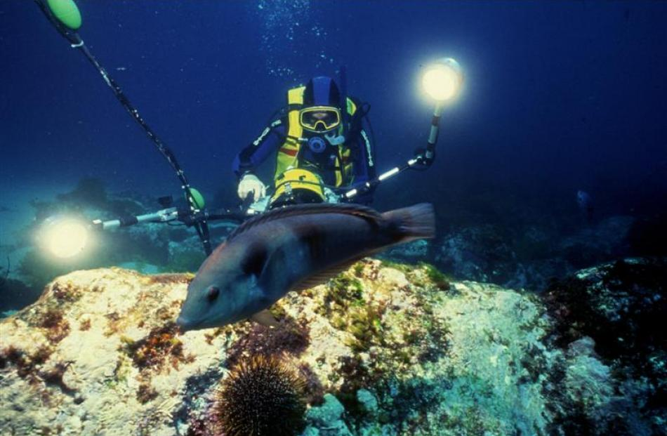 An underwater cameraman moves towards a Sandagers wrasse near the Poor Knights Islands. Photos by...