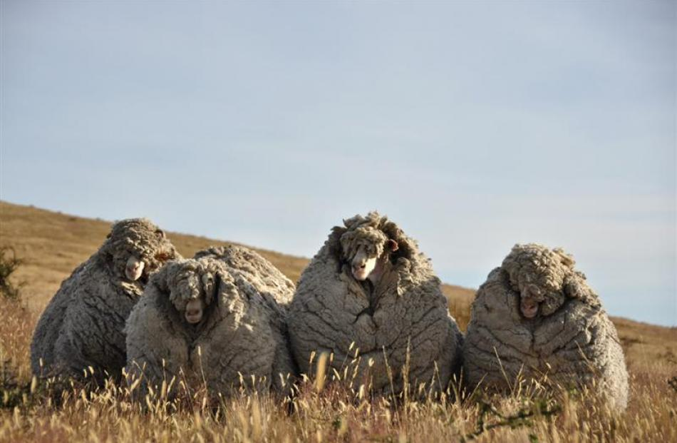 Big Ben (right) and the other three merino wethers captured after years of muster evasion on...