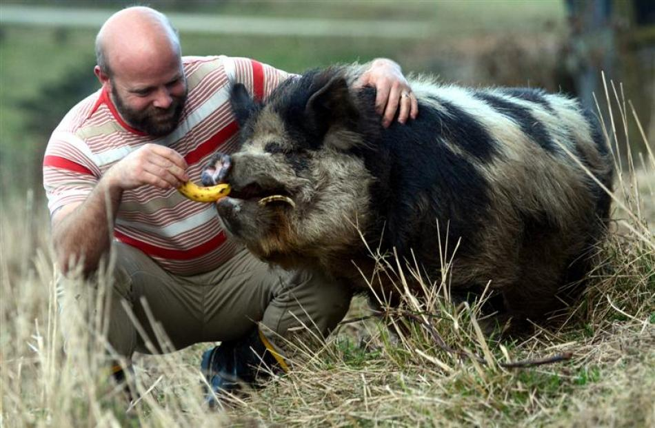 Boris the pig relaxes with his owner, Cam Romeril,  in Dunedin yesterday after being pulled off a...