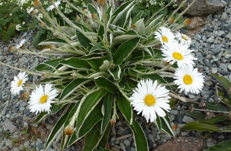 Celmisia hookeri  in flower in the Rare Plants garden at Orokonui. Photo by Neville Peat.
