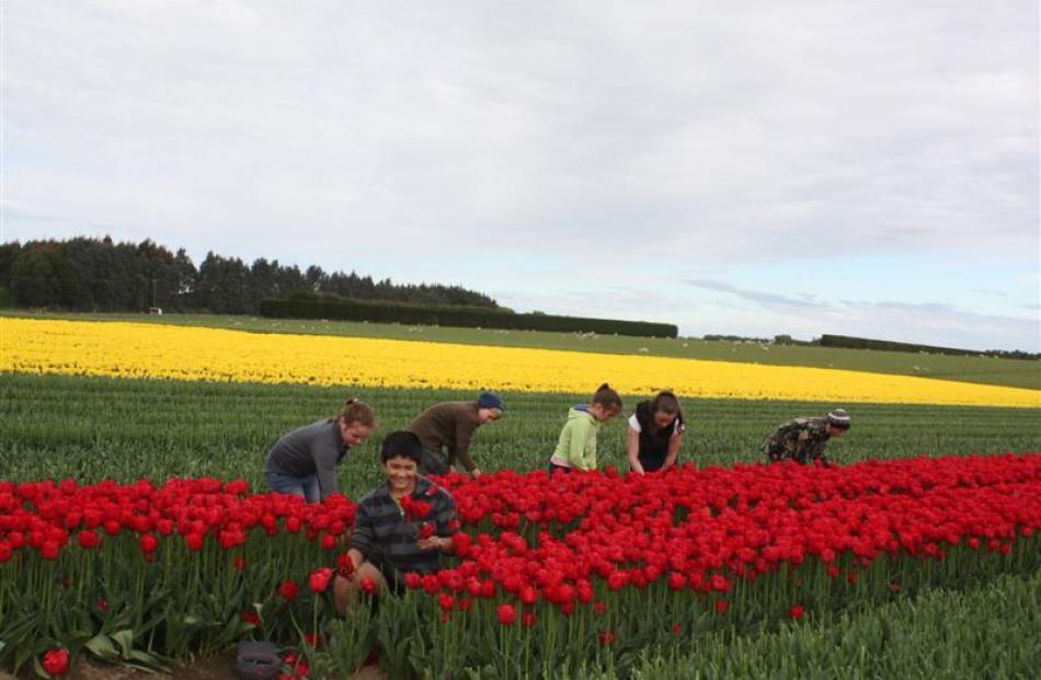 Children remove tulip heads at Grove Bush, near Invercargill. Photos by Allison Rudd.