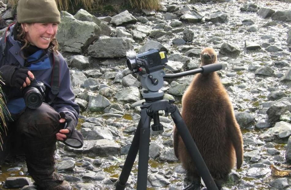 Claudia Babirat fell in love with the wildlife at Macquarie Island, like this king penguin chick...