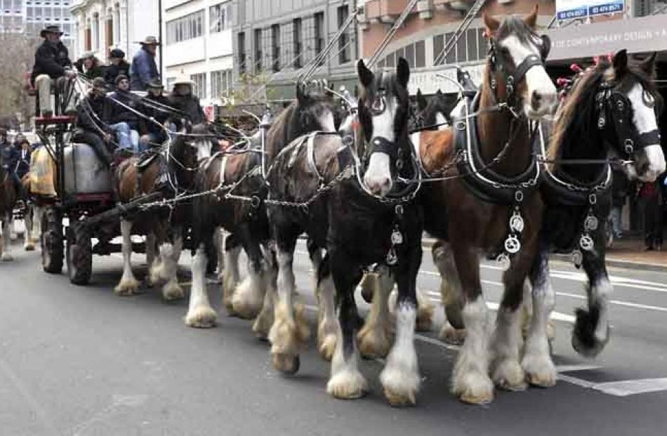 Clydesdales parade in George St. Photo by Craig Baxter.