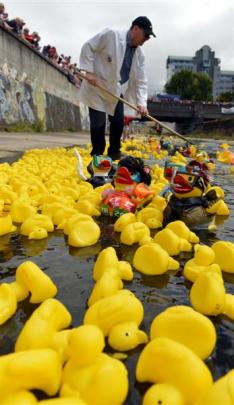 Craig Wombwell, of Dunedin East Rotary helps the ducks along. Photos by Peter McIntosh.