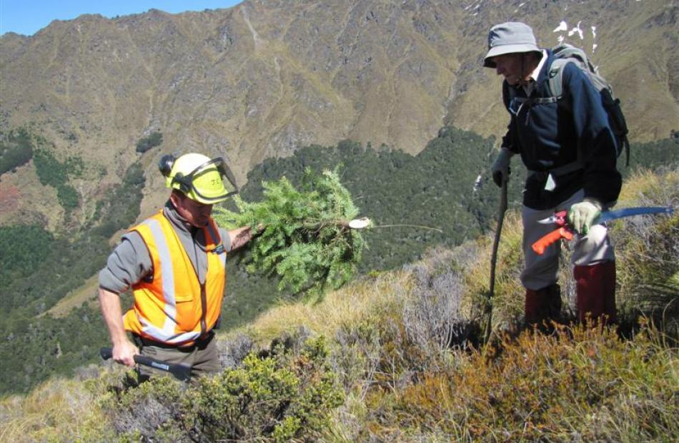 Doc Wakatipu biodiversity threats ranger Jamie Cowan removes wilding pines on Ben Lomond in 2010....