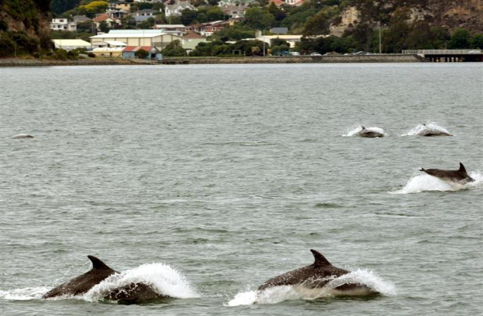 Dolphins in the Harbour. Photos by Stephen Jaquiery.
