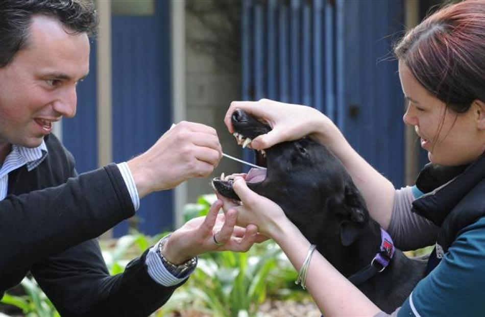 Dr John Hale, from Blis Technologies, takes a swab from Tilly the greyhound's mouth, helped by...