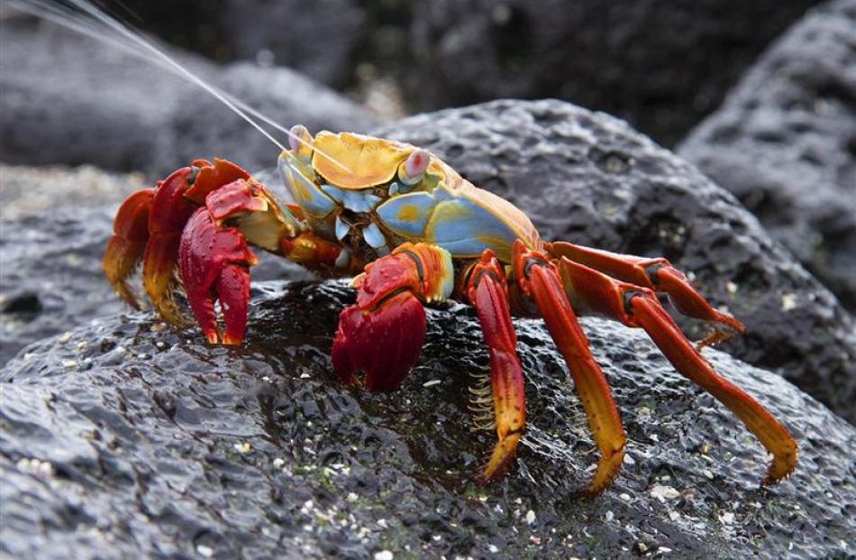 Dunedin photographer Ken Trevathan struck gold with this image of a Sally Lightfoot crab (Grapsus...