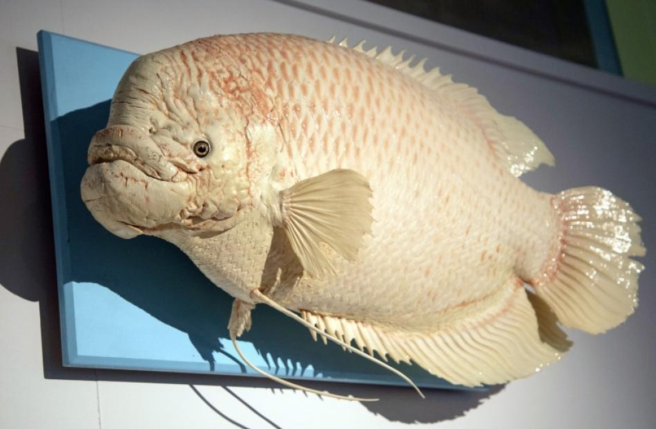 Eric the gourami (1990-2004) grew from a little fish to become a local legend. Photo supplied.