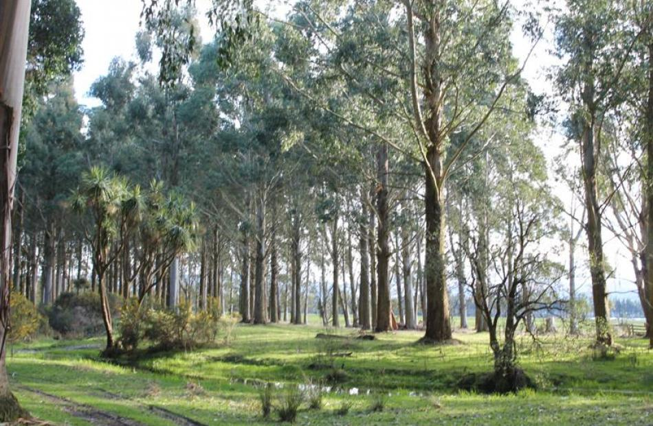 Eucalypts growing on Graham and Heather Milligan's farm at Dipton.