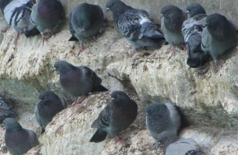 Feral pigeons roosting on the old Alexandra bridge piers are in the New Zealand Transport Agency...