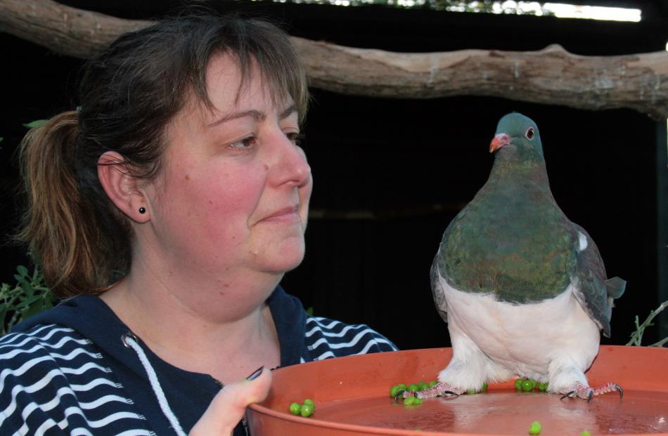 Forest and Bird 'Old Blue Award' winner Nik Hurring feeds Bill at her kereru rehabilitation...