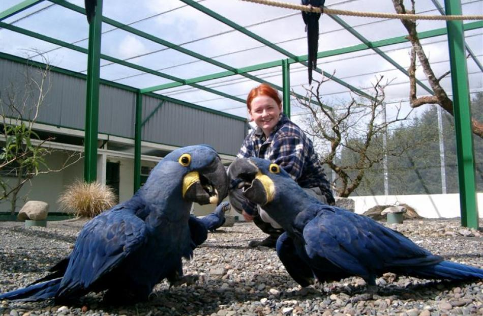 Heidi Rixon with two hyacinth macaw parrots which she once  looked after. Photo supplied.