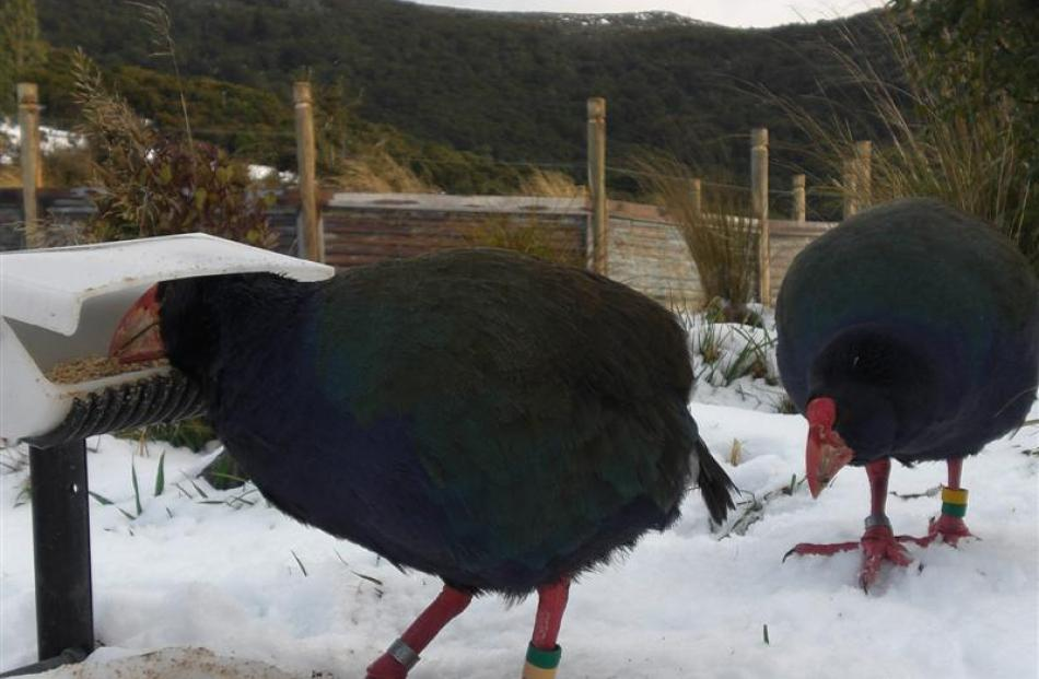 Hungry livestock: The two takahe reluctantly adapting to their new reduced rations during the May...