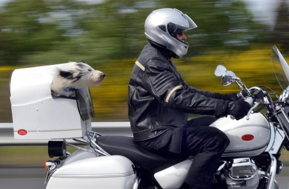Ken Uren and Spike, of Sawyers Bay, cruise along State Highway 1, through Fairfield, on their way...