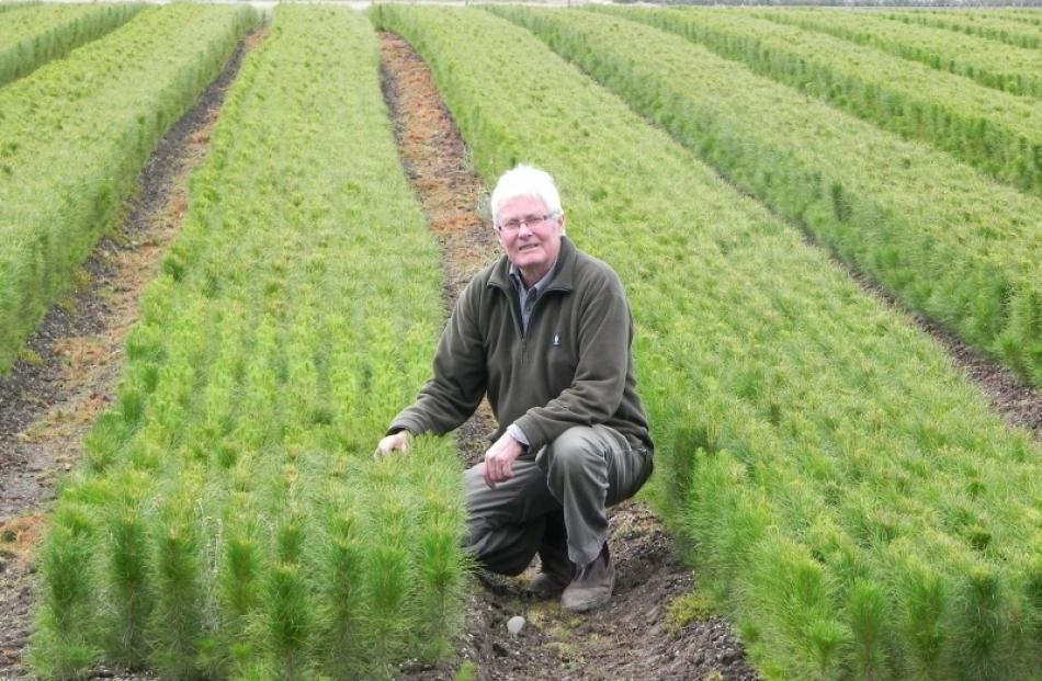 Leithfield Nursery owner Graeme Dodds with live pine tree seedlings in his nursery. Mr Dodds had...