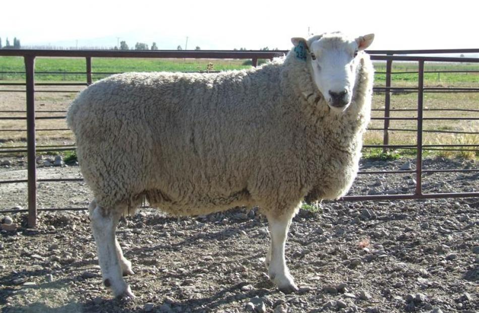 Lochern 234-07 has been selected as a link ram for the Beef and Lamb New Zealand Central Progeny...