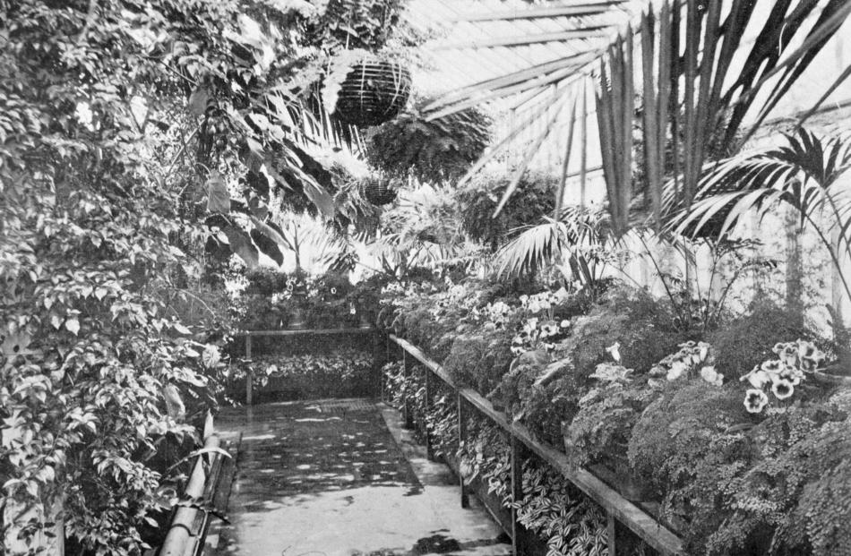 Maidenhair ferns and gloxinias in the middle house at the Dunedin Winter Gardens. - Otago Witness...
