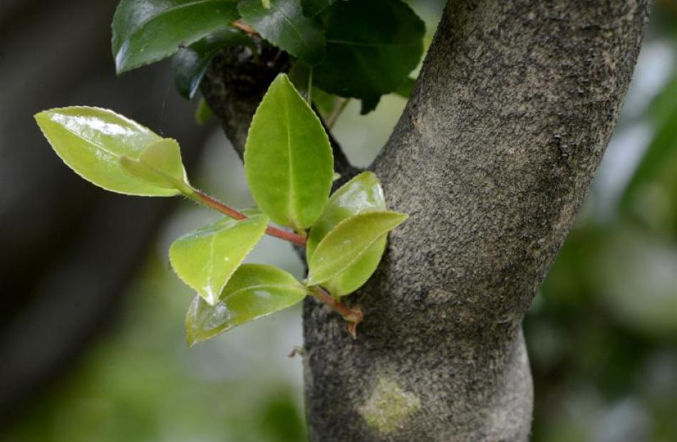 Many plants common in  home gardens, such  as camellias, have adventitious buds, which replace...