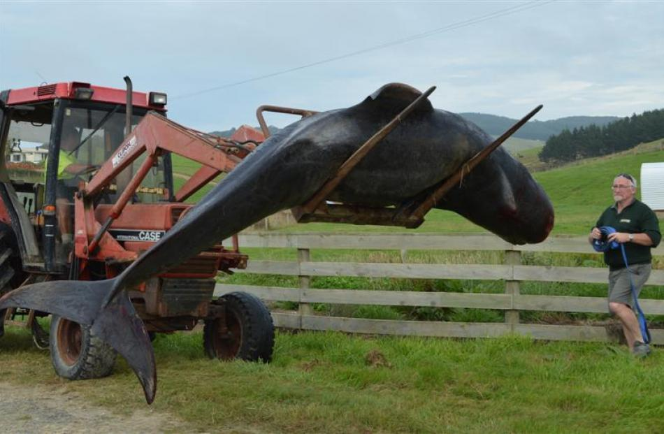 Mike Harvey, of Kaka Point, uses his tractor to shift a dead pilot whale to the roadside in...