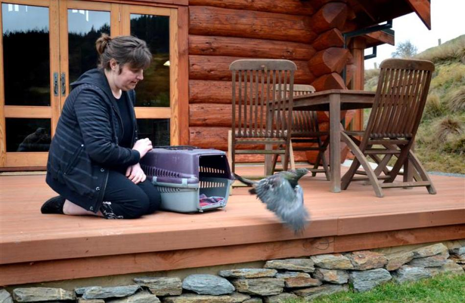Nic Hurring, of Project Kereru, releases a rescued wood pigeon at Cascade Creek Retreat.