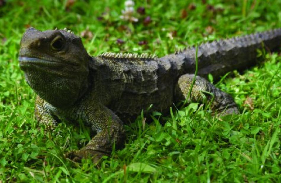 One of the tuatara at Kiwi Birdlife Park. Photo supplied.