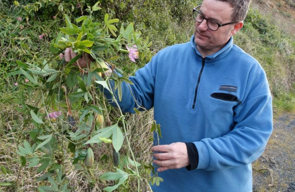 Otago Peninsula Community Board member Paul Pope examines some of the banana passionfruit plant....