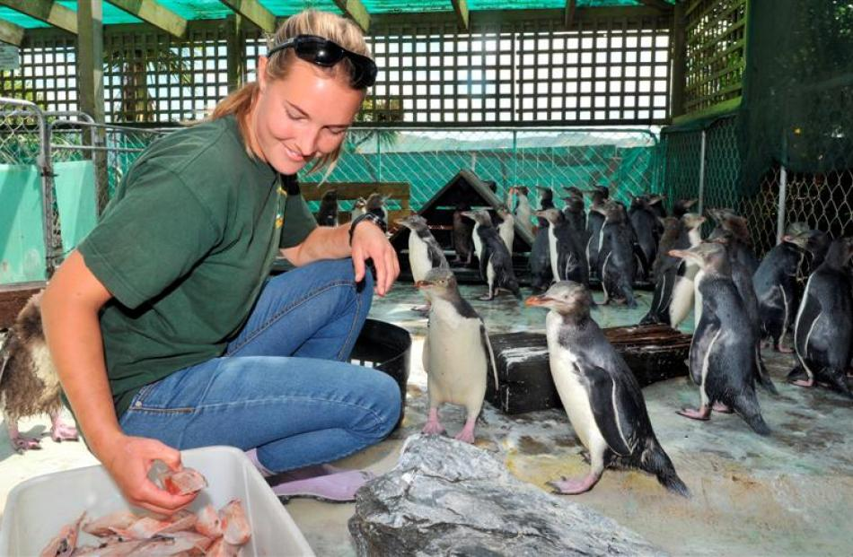 Penguin Place rehabilitation co-ordinator Julia Clement feeds some of the recovering 80 starving...