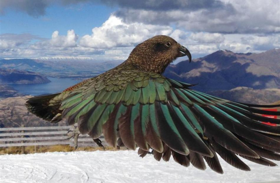 Photo taken by Geoff Marks of the supposed photobombing kea.