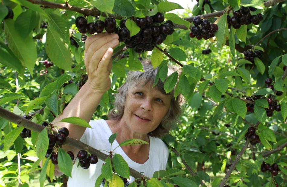 Plant and Food Research science team leader in Earnscleugh Jill Stanley inspects a late-season...