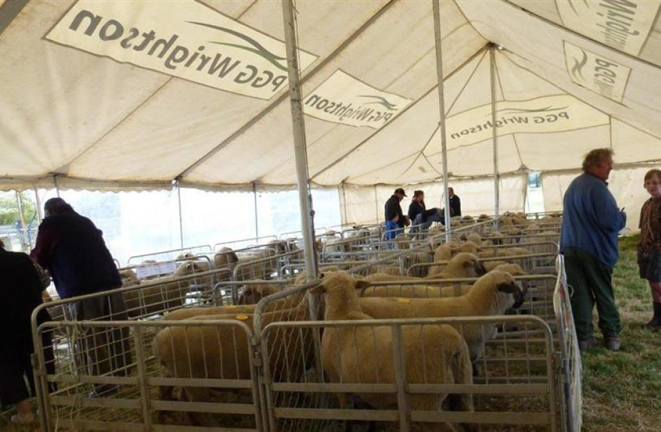 Prospective buyers inspect Dorset Down rams on offer at the Craigneuk ram auction in Maniototo....