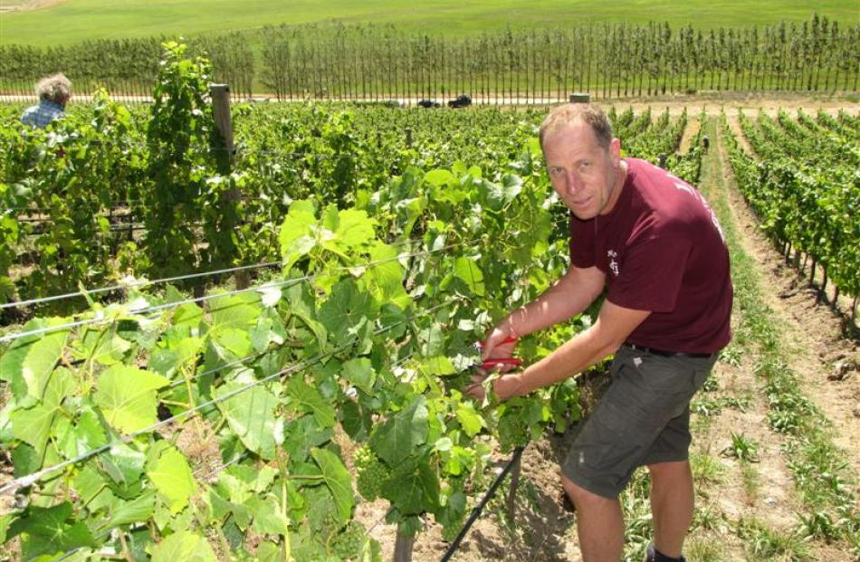 Quartz Reef wine maker Rudi Bauer culls some pinot noir grapes on his Bendigo block to allow...