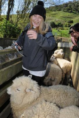 Rebecca O'Sullivan-Webb (17), of Dunedin, tries her hand at drenching sheep on an Otago Peninsula...